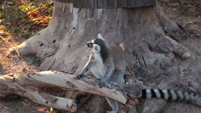Ring-tailed Lemurs sitting on tree and looking around. Ring-tailed Lemurs sitting on tree and  looking around stock footage