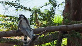 Ring-tailed Lemurs sitting on tree and looking around. Ring-tailed Lemurs sitting on tree and  looking around stock video footage
