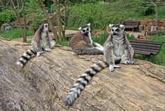 Ring-tailed lemurs sitting on a tree in a Zoo. Ring-tailed lemurs  on a tree in a Zoo Stock Photo