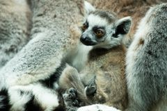 Ring Tailed Lemurs som uthärdas på Bristol Zoo, UK Royaltyfri Foto