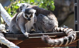 Ring Tailed Lemurs Royalty Free Stock Images