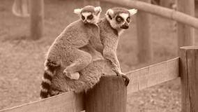 Ring-Tailed Lemurs  Stock Photo