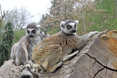 Ring-tailed lemurs  on a tree in a Zoo Royalty Free Stock Photo