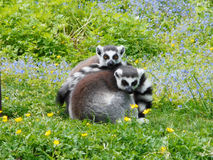 Ring tailed lemurs Royalty Free Stock Photography