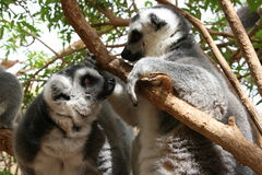 Ring Tailed Lemurs. Two ring tailed lemurs stare at each other after waking up from a snooze Stock Photo