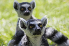 Ring-tailed Lemurs. In a zoo stock photography