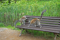 Ring-tailed lemurs in a Zoo. Ring-tailed lemurs on a bench in a Zoo Stock Photos