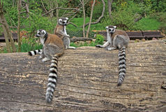 Ring-tailed lemurs in a Zoo. Ring-tailed lemurs sitting on a tree in a Zoo Royalty Free Stock Images
