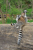 Ring-tailed lemurs in a Zoo. Ring-tailed lemurs sitting on a tree in a Zoo Royalty Free Stock Image