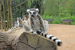 Ring-tailed lemurs in a Zoo. Ring-tailed lemurs sitting on a tree in a Zoo Royalty Free Stock Photo
