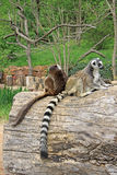 Ring-tailed lemurs in a Zoo. Ring-tailed lemurs sitting on a tree in a Zoo Royalty Free Stock Photography