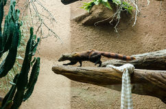 Ring-tailed mongoose (Galidia elegans) Royalty Free Stock Photo