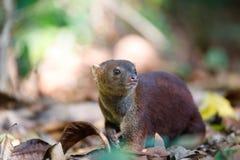 Free Ring-tailed Mongoose Galidia Elegans Madagascar Royalty Free Stock Image - 83415046
