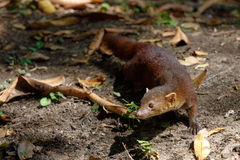 Ring-tailed mongoose Galidia elegans Madagascar Stock Image