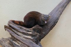 Ring-tailed mongoose Royalty Free Stock Photography