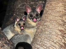 Ring tailed possum with baby ,queensland,australia Royalty Free Stock Photo