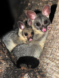 Ring tailed possum with baby ,queensland,australia Royalty Free Stock Photos