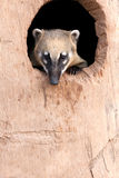 Ring -tailled coati. Portrait of a Ring Tailled Coati hiding in a burrow at the zoo Royalty Free Stock Photo