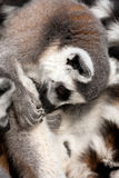 Ring-tailled lemur Stock Photography