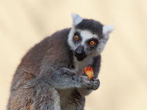 Ring-tailted lemur eating front portrait Royalty Free Stock Image