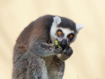 Ring-tailted lemur eating portrait Stock Photo