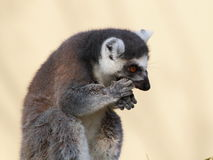 Ring-tailted lemur eating side portrait Royalty Free Stock Image
