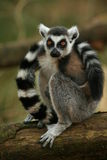 Ring taled lemur monkey Stock Photo