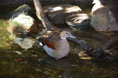 Ring Teal Duck Royaltyfria Foton