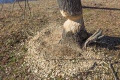Ring von Holzspänen um einen Baum mit schwerem Schaden von den Bibern lizenzfreie stockbilder