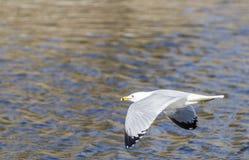 Ringa-fakturerad fiskmås i flyg Arkivbild