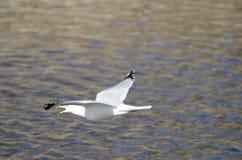 Ringa-fakturerad fiskmås i flyg Arkivfoton