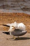 Ringa-fakturerad Seagull Arkivbilder
