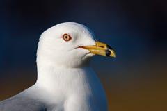 Ringa-fakturerad Seagull Arkivbild