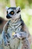 Ringa-tailed lemur som är frukt- royaltyfri fotografi