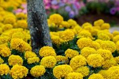 Ringblomma gulingblomma i trädgård Arkivfoton