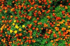 Ringblommafält Fotografering för Bildbyråer