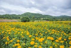 Ringblomman blommar i Thailand Royaltyfria Foton
