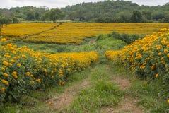 Ringblomman blommar i Thailand Arkivbilder