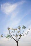 Ringblommaträd i den blåa himlen Arkivfoton