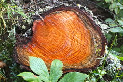 Ringe auf einem Klotz des Holzes im Wald Stockfotografie