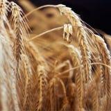 Ringe auf Weizen Stockfoto
