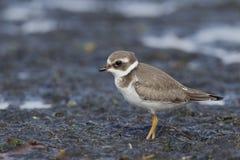 Ringed brockfågel, Charadriushiaticula Royaltyfri Fotografi