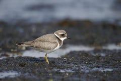 Ringed brockfågel, Charadriushiaticula Royaltyfria Bilder