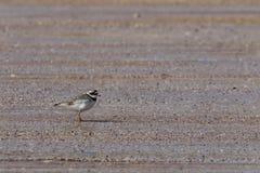 Ringed brockfågel (Charadriushiaticula) på stranden Fotografering för Bildbyråer
