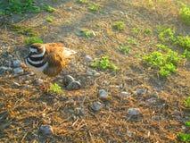 Ringed brockfågelfågel som bygga bo ägg Arkivbilder