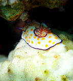 Ringed Chromodoris nudibranch Red Sea Stock Images