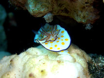 Ringed Chromodoris nudibranch Red Sea Stock Photos