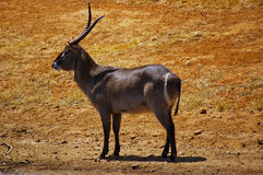 A ringed (common) waterbuck Stock Photo