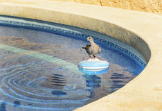 Ringed Dove sitting on a Swimming pool chemical dispenser Stock Photo
