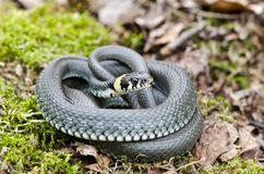 Ringed grass snake Natrix in spring forest stock image